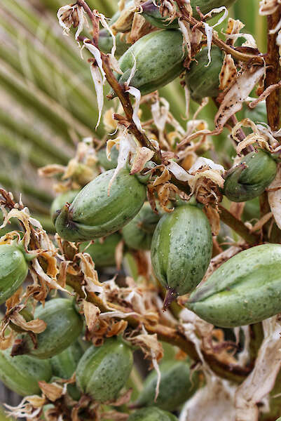 Source of seeds of Yucca schidigera, commonly Mojave yucca — Jared Quentin, USA